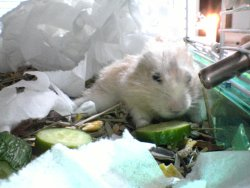 Baru eating cucumber